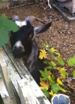 Goat-Close
