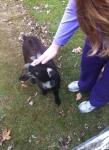 Goat-Pet